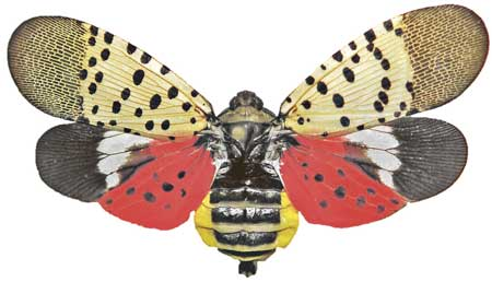 The Spotted Lanternfly Pest Hitchhikes Rides with Truckers
